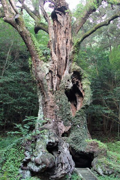 日本の巨樹  武雄の大楠-武雄神社- (2012年7月30日)