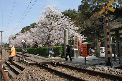 桜だより(Part Ⅱ)   有田町 陶山神社の桜
