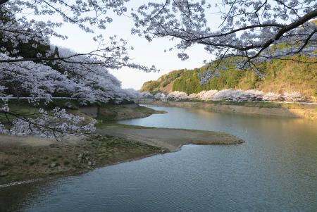 有田近隣の桜 満開 (庭木ダム)