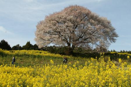 有田近隣の桜 満開(馬場の山桜)